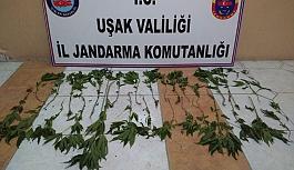 Jandarma'dan Uşak'ta Uyuşturucu Operasyonu
