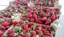 Aydın'da çilek üreticilerinin sorunları çözülecek