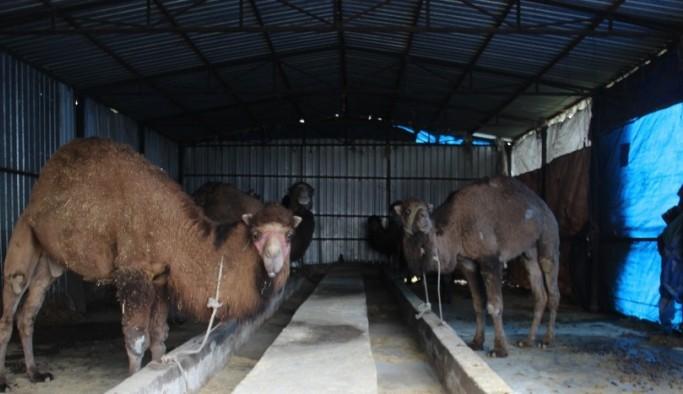 Aydın'da develer kölesteye erken alındı