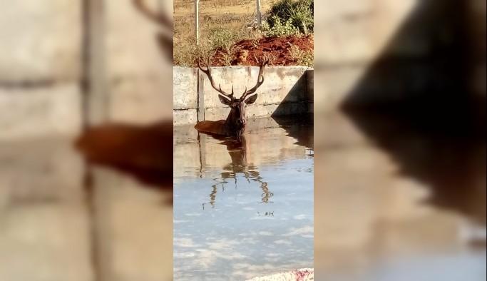 Sulama havuzuna düşen geyik bayıltılarak kurtarıldı